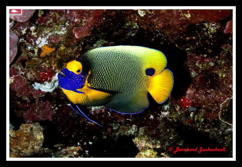Selayar Island im Dezember, Selayar/Südsulawesi,Indonesien,Kaiserfisch