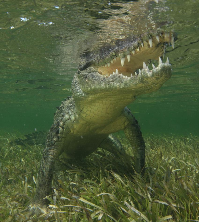 Salzwasserkrokodil, Krokodil, Krokodiltauchen, Salzwasserkrokodil, Salty