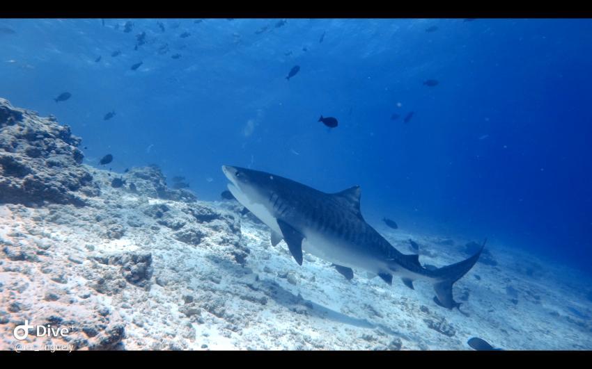 Hai, Tigerhai, Fuvahmulah Dive School, Fuvahmulah, Malediven