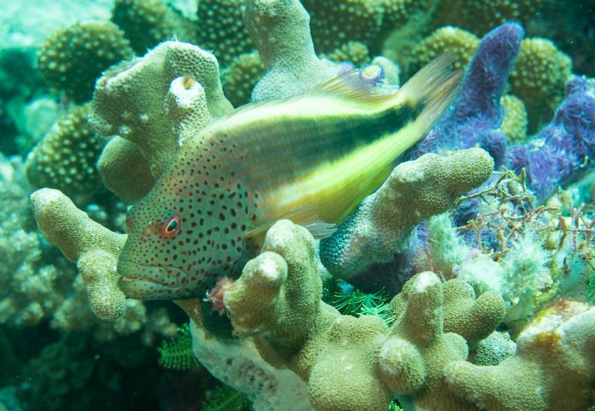"""Der """"Goldfisch"""" ist ein Korallenwächter"""