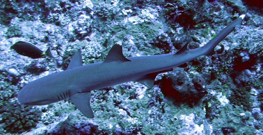 Blue Hole und New Drop Off, Blue Hole und New Drop Off,Palau,weissspitenriffhai,hai,riffhai