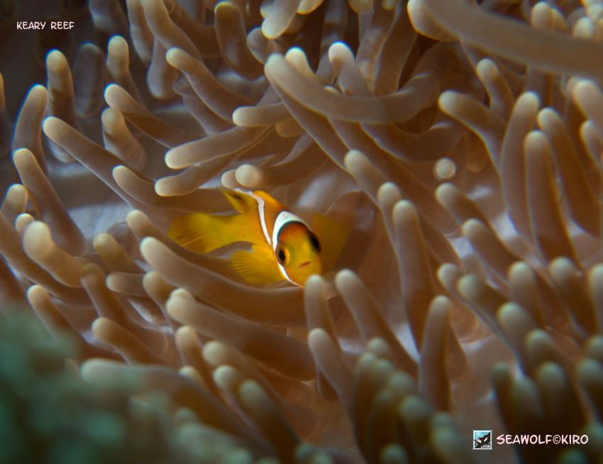 Keary Reef, Seawolf Diving Safari Dominator Suakin Sudan, Keary Reef, Süsudan, Sudan