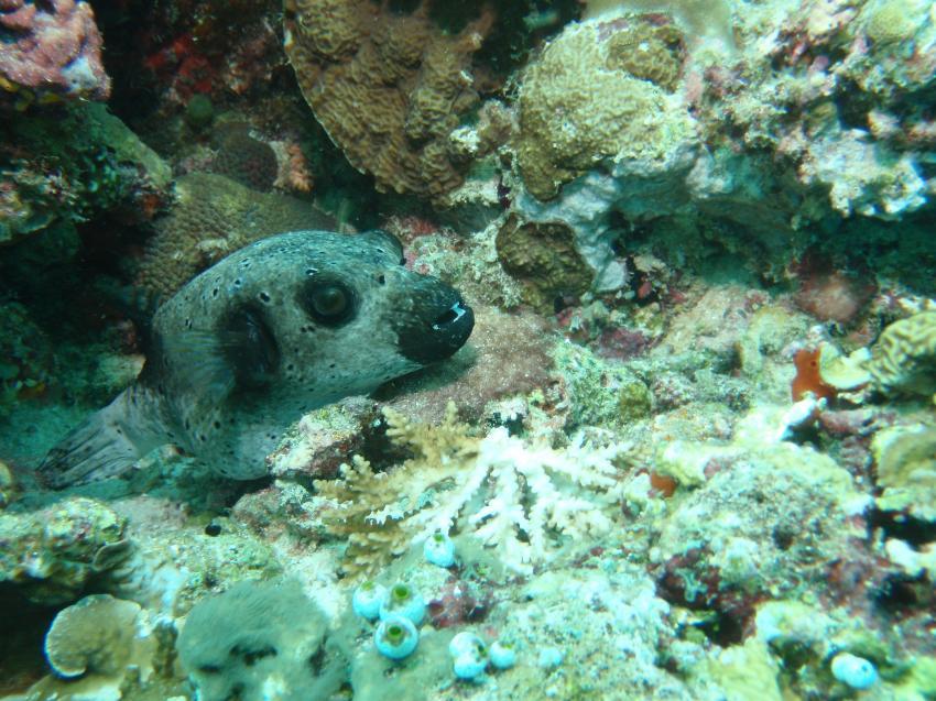 Helengeli, Helengeli,Malediven,Kugelfisch