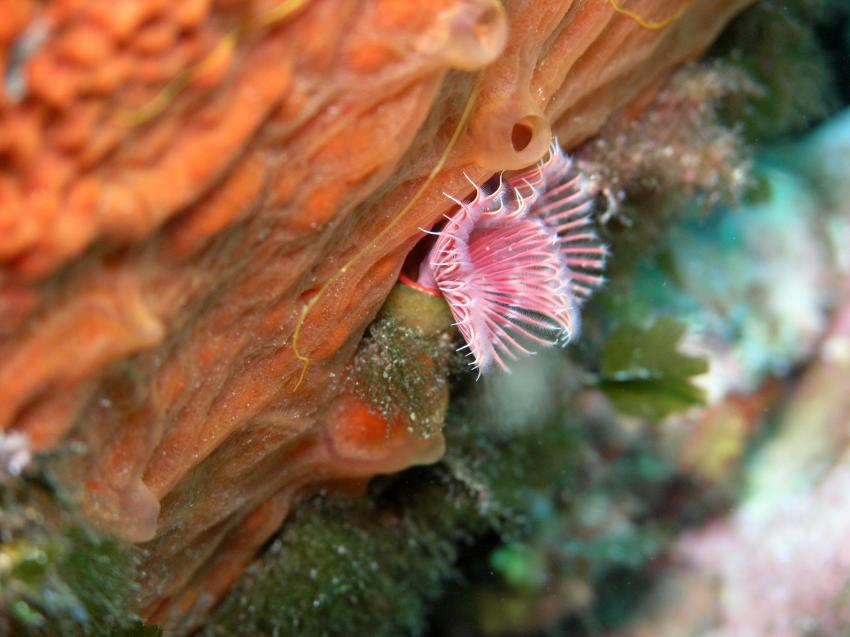 Aqualonde Plongée, La Londe les Maures,Frankreich,Röhrenwürmer,Kleiner Kalkröhrenwurm