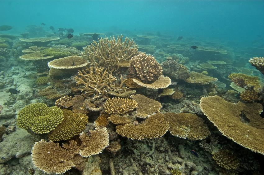 Ellaidho, Ari Atoll,Malediven,Korallen am Hausriff,Riffdach