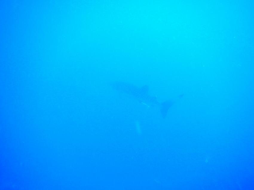 Walhei beim Tauchen vom Strand , Diving Ocean - Hotel Prima Life Resort, Ägypten, Safaga