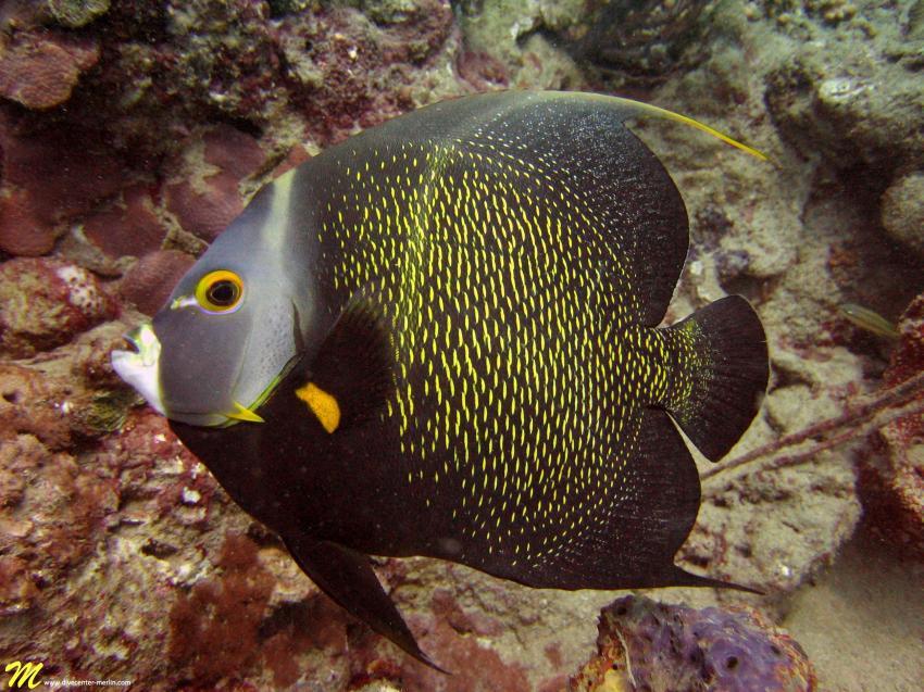 Franzosen Kaiserfisch/French Angelfish, Merlin, Sosua, Dominikanische Republik