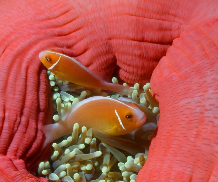 Palau Aggressor 2, Palau und Yap allgemein,Palau,Clownfische,Prachtanemone