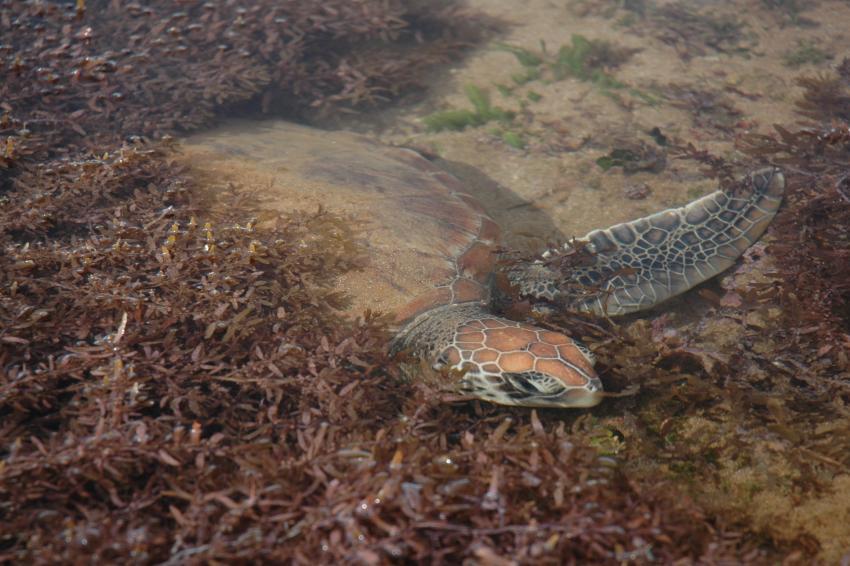Port Hedland WA, Cemetery Beach, Port Hedland WA,Cemetery Beach,Australien,Schildkröte,Watt