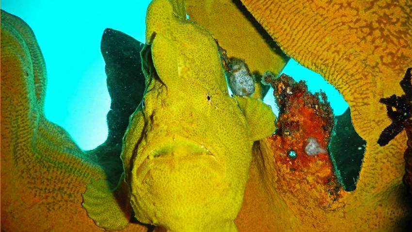 Kawayan Holiday Divers Froggy, Kawayan Holiday Divers, Kawayan Holiday Resort Dive Center, Siquijor, Philippinen