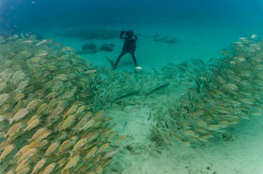 Süßlippenschwärme wie auf den Malediven
