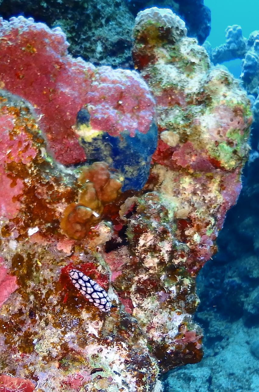 mehr Nudibranchier...., Ducks Superior Marsa Alam, Ägypten, Marsa Alam und südlich