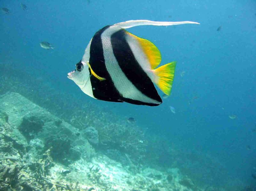 Similan Islands, Similan Islands,Thailand,Wimpelfisch