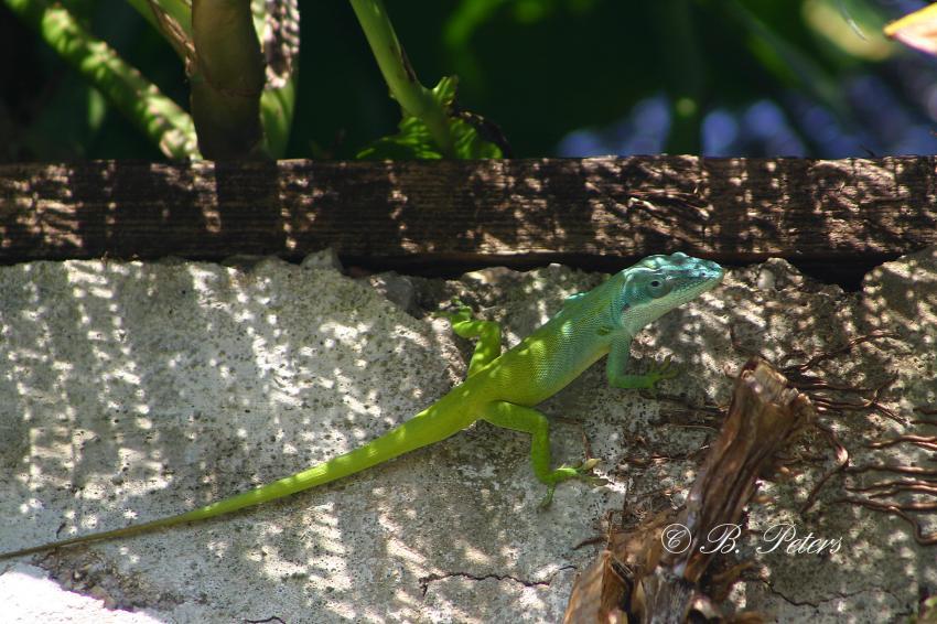 Bahia Naranjo, Bahia Naranjo,Kuba,Eidechse,Gecko