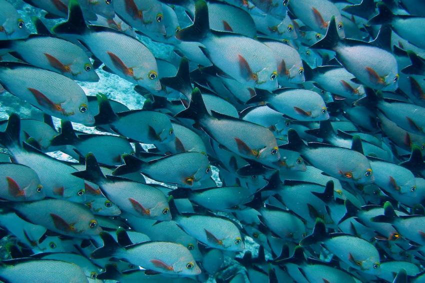 Vakarufalhi / Süd-Ari-Atoll, Vakarufalhi / Süd-Ari-Atoll,Malediven,Schnapper,Schwarm
