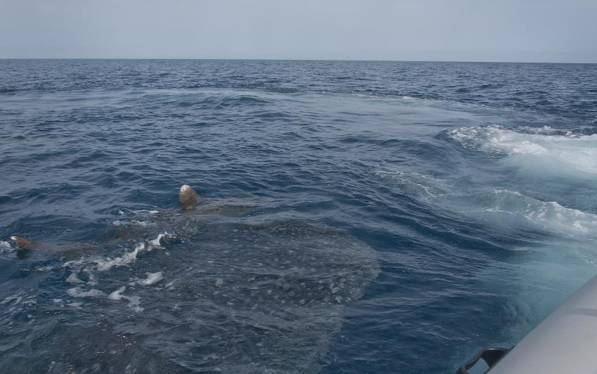 einer von drei Wahlhaien und Weißspitzenhochseehai zusammen vor der Bucht Marsa Gabal el Rosas (Aurora Bay)R, Ducks Superior Marsa Alam, Ägypten, Marsa Alam und südlich