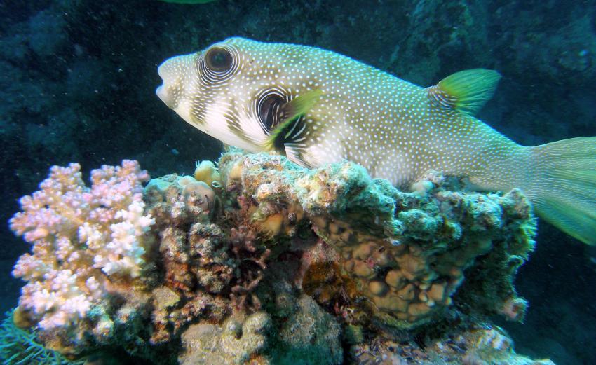 El Quseir - Utopia Hausriff, Hausriff Utopia Beach El Qusier,Ägypten,Kugelfisch