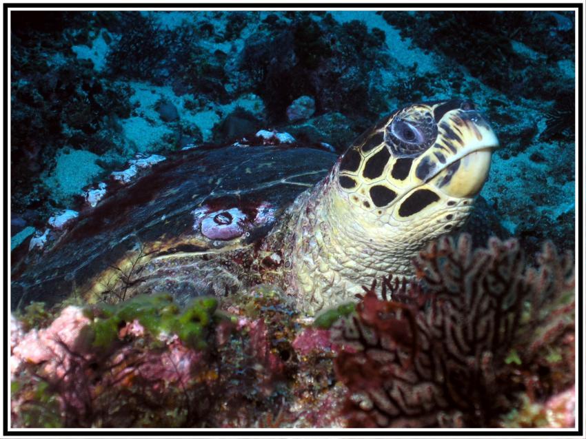 Rolas, Rolas,Sao Tome,Sao Tome und Principe,Meeresschildkröte,auf Koralle sitzend