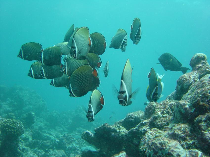 Handhu Falhi Tauchsafari, Handhu Falhi,Malediven,falterfisch