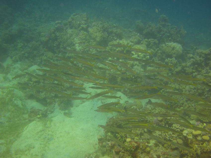 Herbstzeit am Hausriff, Hausriff Freedom-Divers,Ägypten