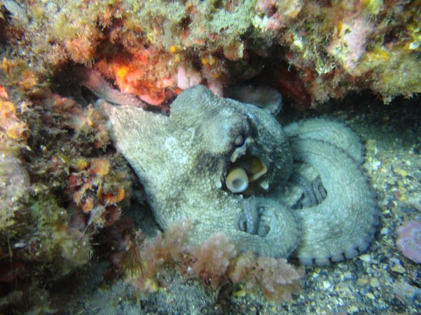 Oktopus, Deco Dive Torrox, Spanien, Spanien - Festland