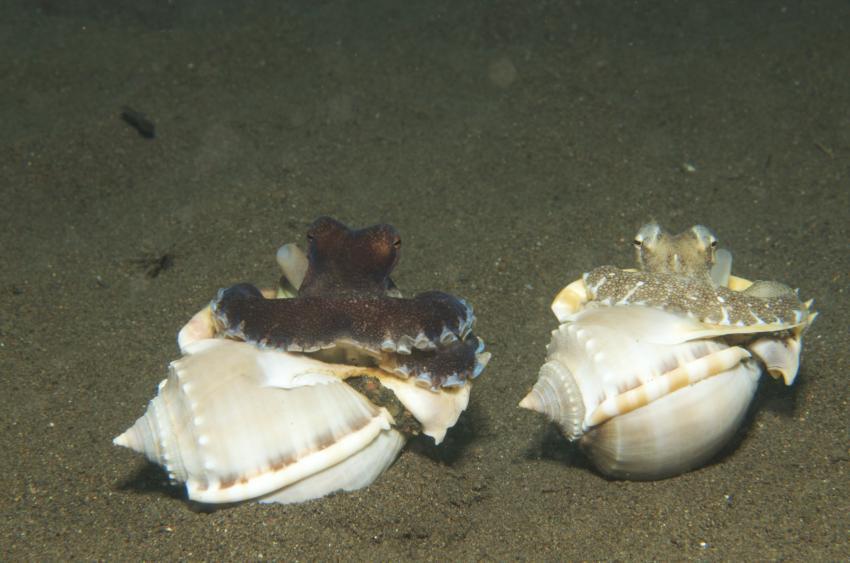 Octopusse mit Haus