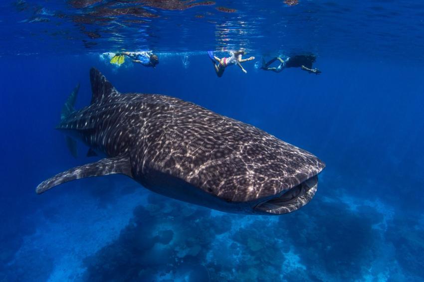 Walhaie / Christmas Island, Walhai, Christmas Island, Indian Ocean, Australien