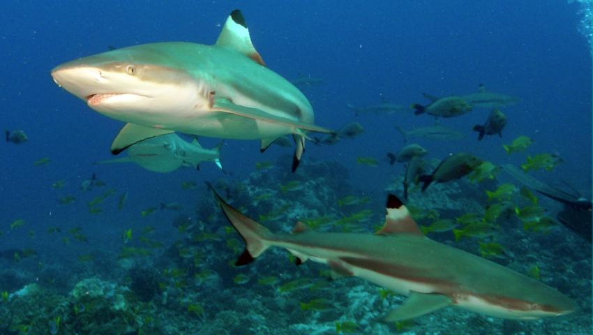 Moorea, Moorea und Fakarava,Französisch-Polynesien,Schwarzspitzenhaie