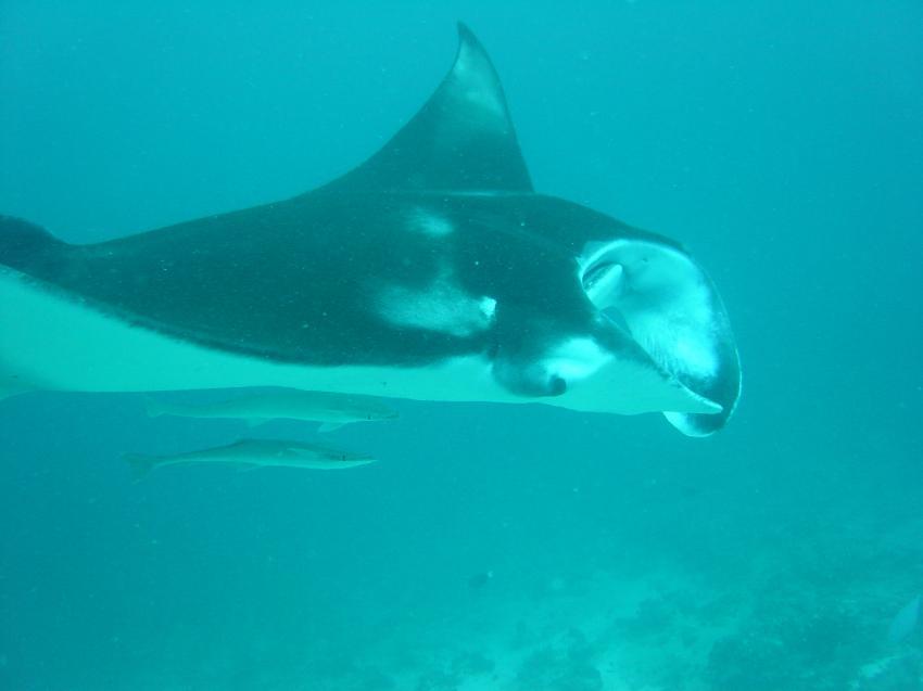 Handhu Falhi Tauchsafari, Handhu Falhi,Malediven,manta,schiffshalter,kopflappen