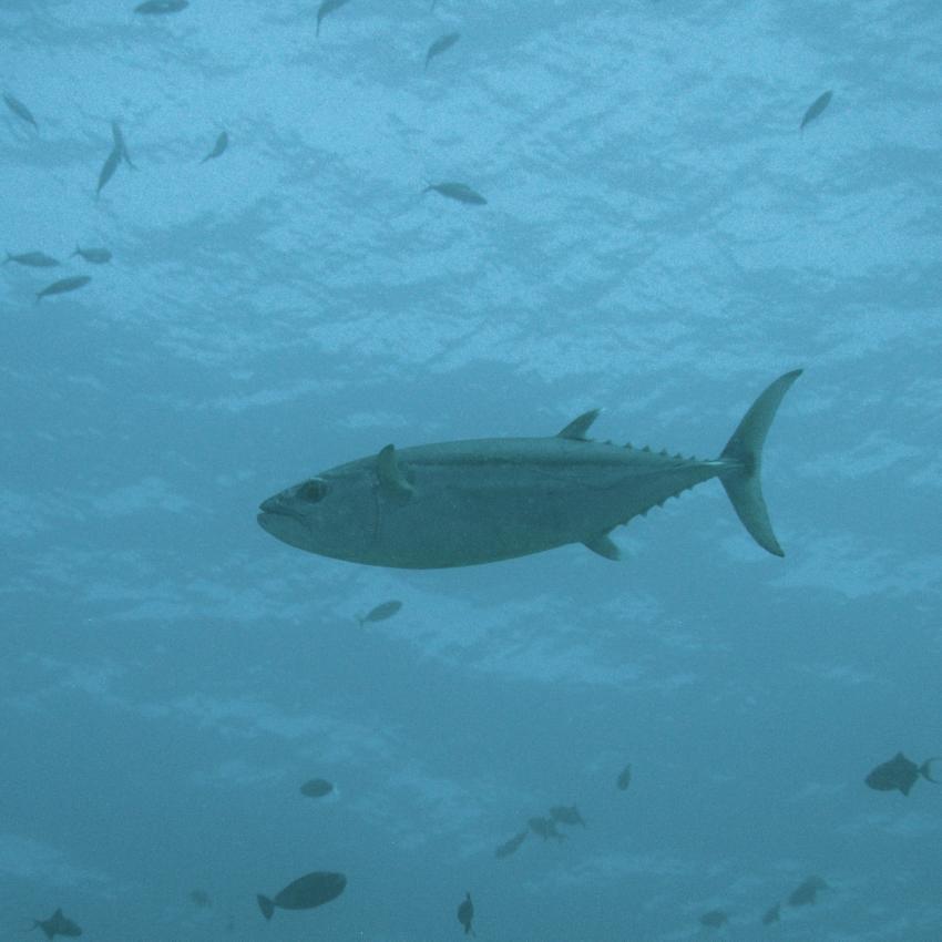 Apo Reef; Thunfisch, Apo Reef, Pandan Island, Sablayan, Philippinen