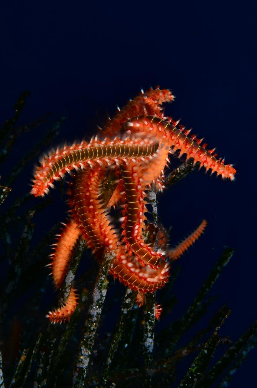 Eindrücke Lampedusa, Lampedusa,Italien,Bart-Feuerborstenwurm (Hermodice carunculata)