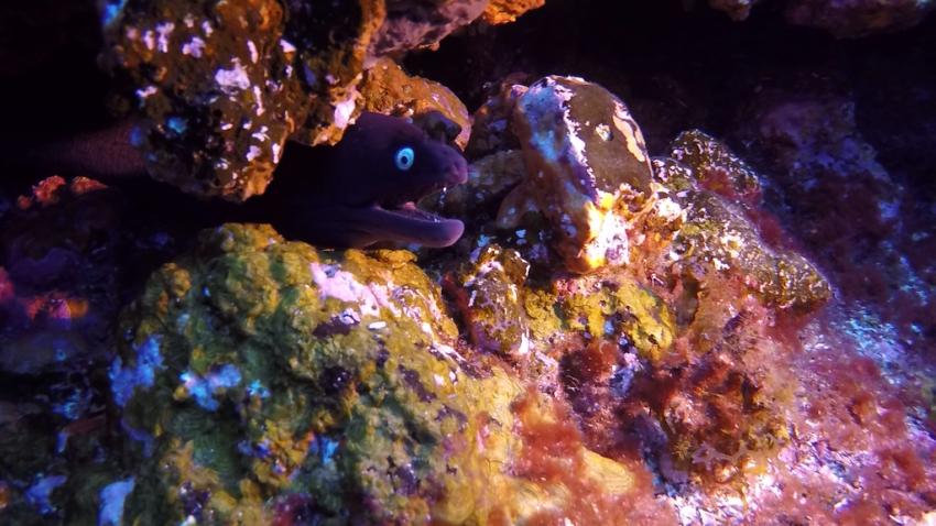 Muräne, Muräne, Aquanautic Dive Center Tenerife (ex Barakuda ), Adeje, Teneriffa, Spanien, Kanarische Inseln
