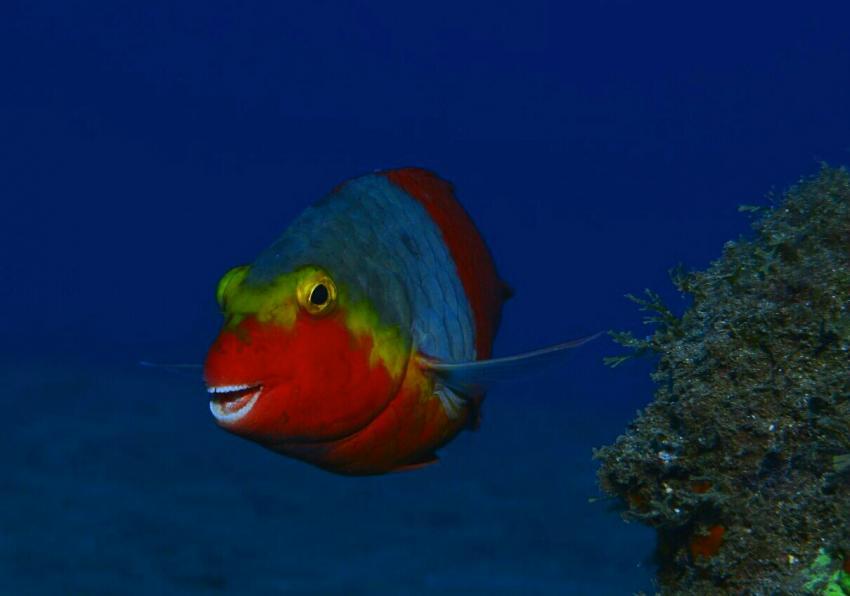 https://www.zeusdivecenter.com/, Papageifisch, Zeus Dive Center, Playa del Ingles, Gran Canaria, Spanien, Kanaren (Kanarische Inseln)