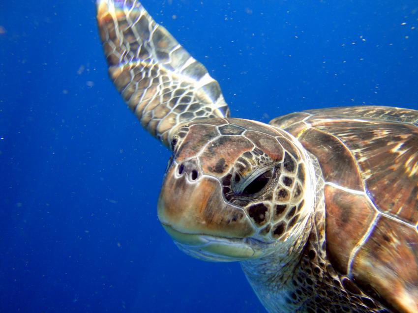 Meeresschildkroete - Similan Islands, Meeresschildkroete - Similan Islands, Sea Turtle Divers - Khao Lak, Thailand, Andamanensee