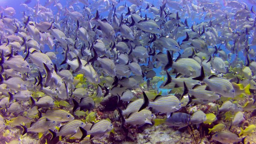 Unterwasser mit ScubaCaribe, Fischschwarm, ScubaCaribe Cancun - RIU Hotels, Mexiko