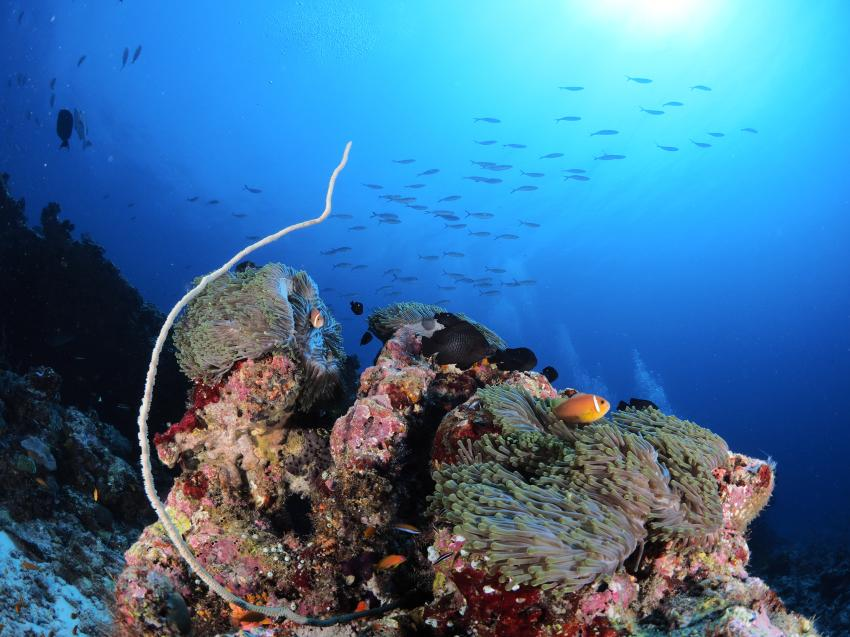 Korallen, Riff, Euro-Divers, Meeru Island Resort & Spa, Malediven