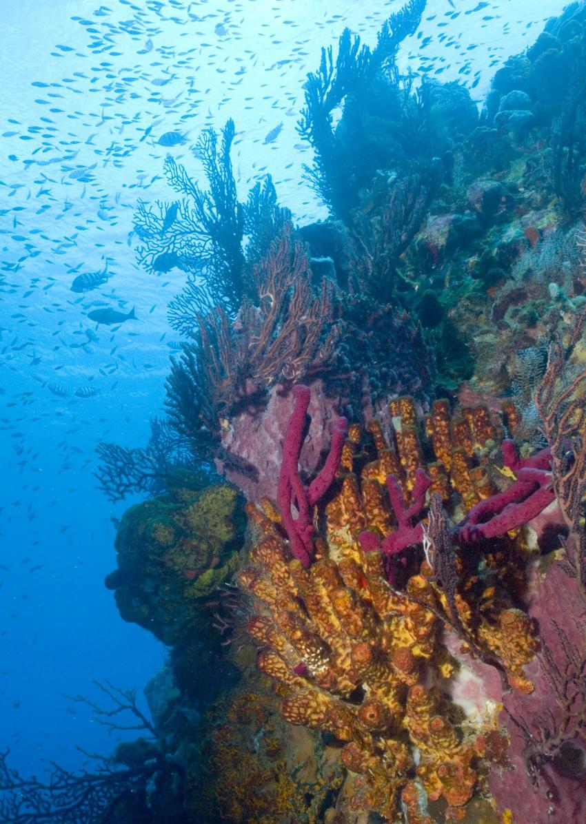 Soufriere, Soufriere,St. Lucia,Korallen,weich,hart