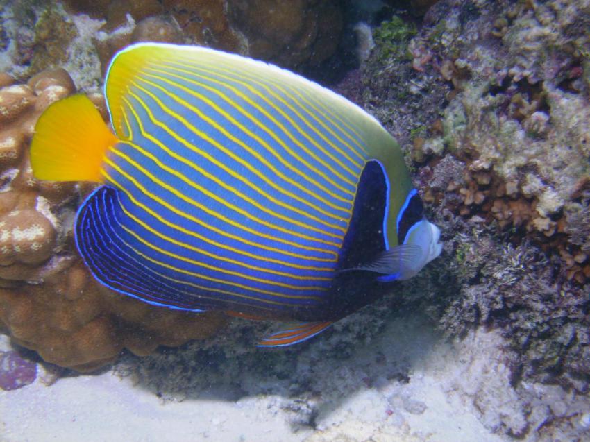 Helengeli, Helengeli,Malediven,imperator,kaiserfisch
