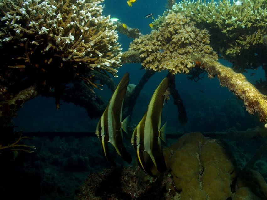 Pemuteran und Insel Menjangan, Menjangan,Indonesien,Fledermausfische,Korallenzuchtprojekt