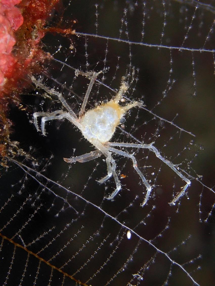 Aberratin Dive Club, Hausriff, Aberratin Dive Club,Hausriff,Philippinen,Krabbe,winzig,Makro,Hydroidpolypen,Alien