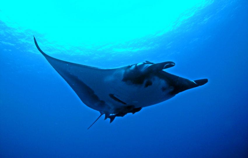 soccoro, Socorro Islands,Mexiko,Manta