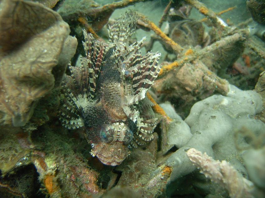 Tauchsafari Juni 2010 rund um Permuteran, Bali Nordwesten,Indonesien,Skorpionsfische,Drachenkopf