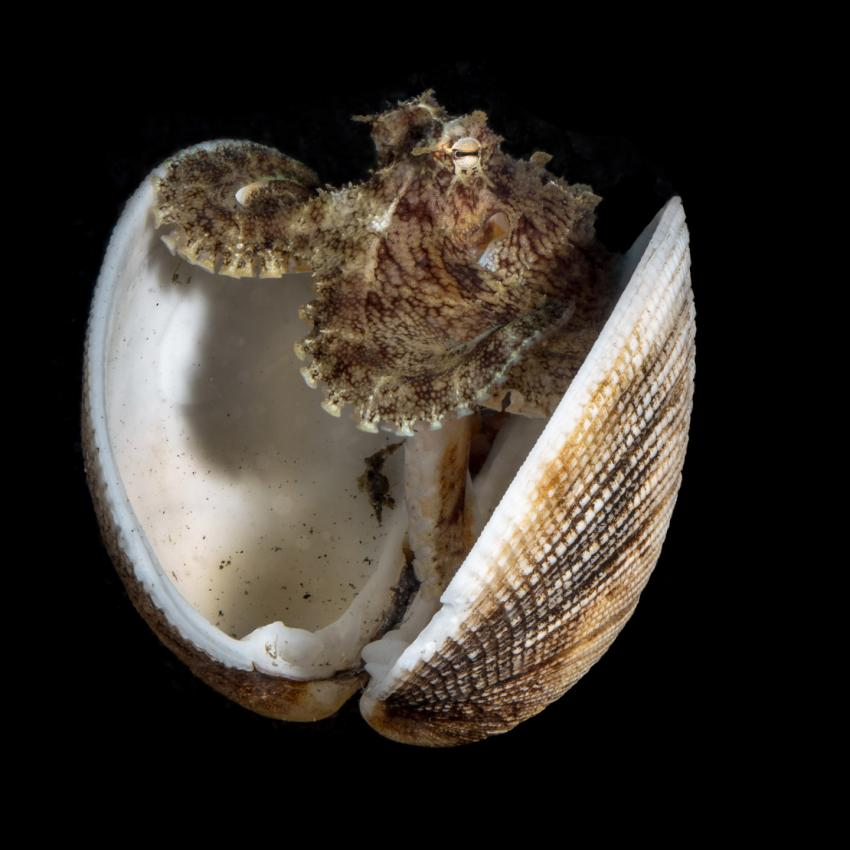 Kokosnuss-Oktopus, Kokosnuss-Oktopus, Critters@Lembeh - Lembeh Resort, North Sulawesi, Indonesien, Sulawesi