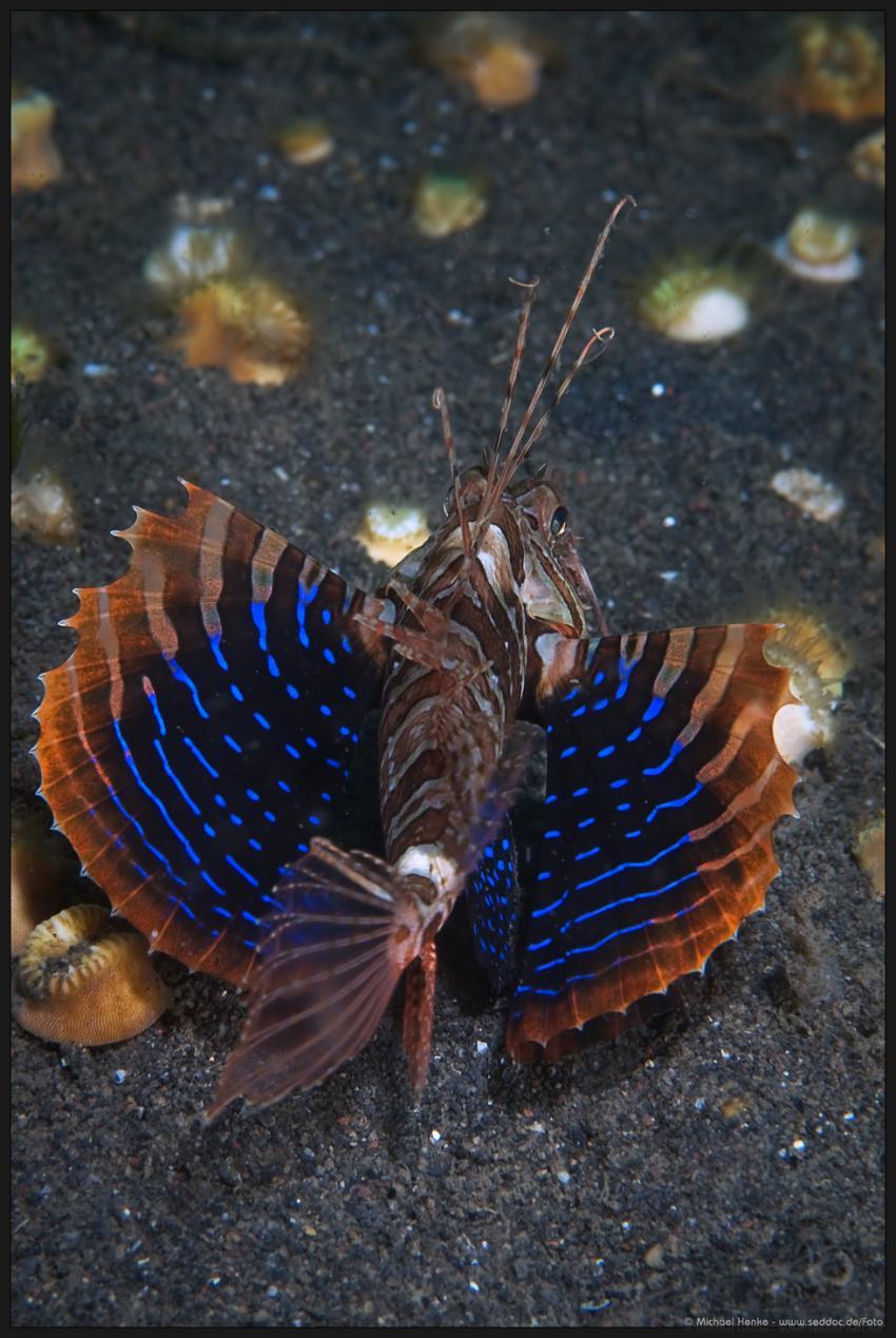 Puri Jati, Puri Jati,Indonesien,Blauflossen,Feuerfisch,flügel