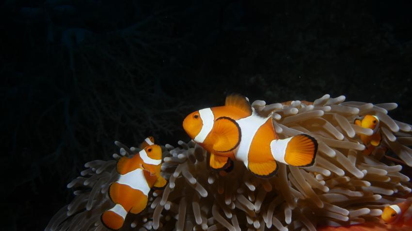 M/V Pindito, Indonesien