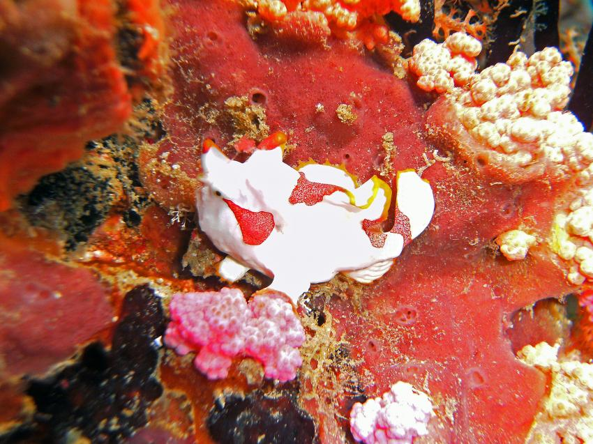 Rund um Malapascua, Malapascua,Philippinen,Anglerfische,Antennariidae,Frogfisch,juvenil