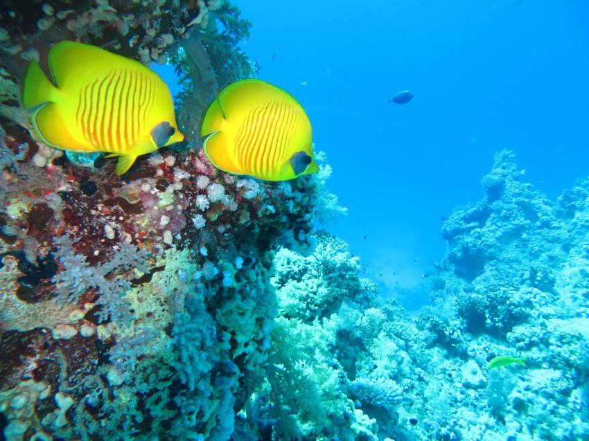 Masken-Falterfisch, Extra Divers - Equinox, Marsa Alam, Ägypten, Marsa Alam und südlich