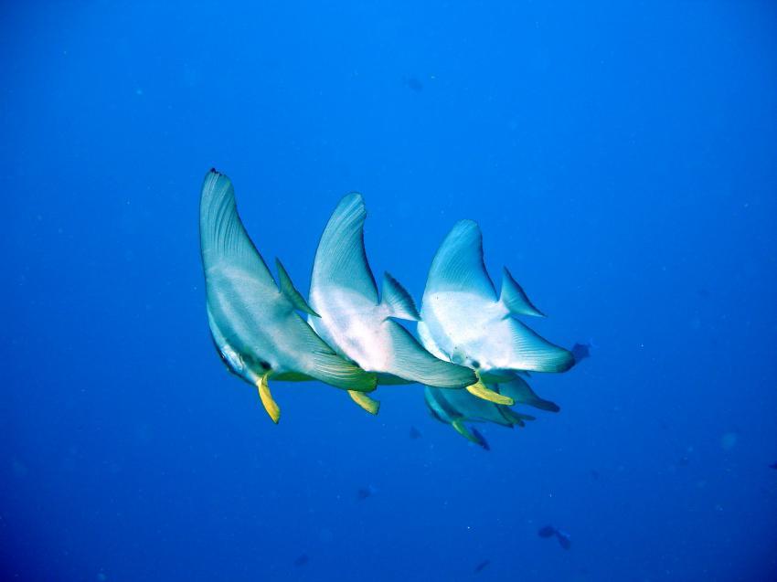 Vakarufalhi / Süd-Ari-Atoll, Vakarufalhi / Süd-Ari-Atoll,Malediven,Fledermausfische