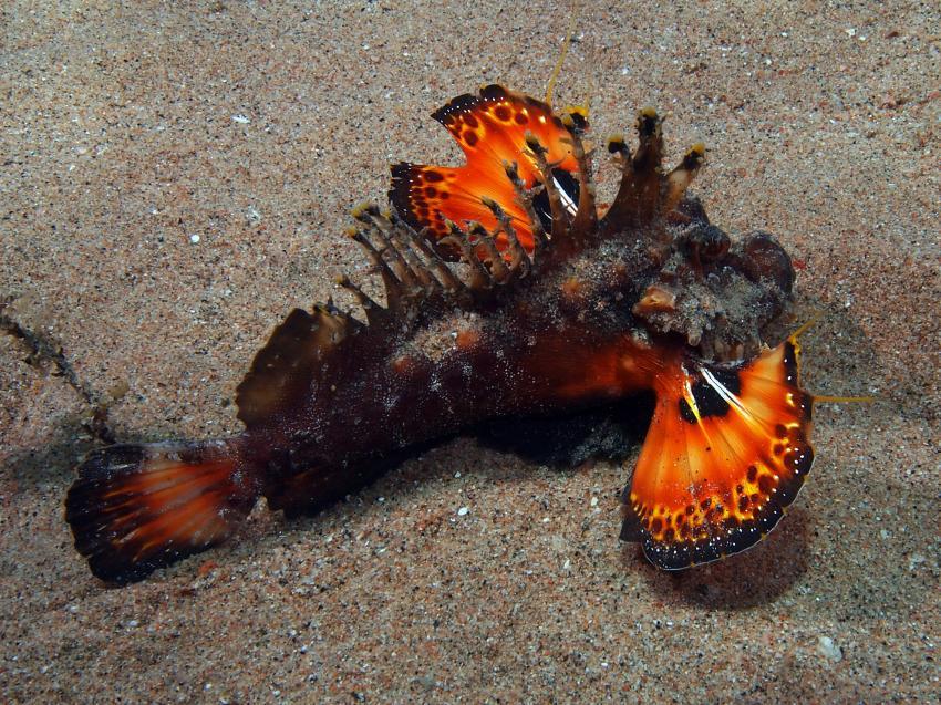 rund um Dahab II, Ras Abu Galum - Dahab,Dahab - allgemein,Ägypten,Red Sea Walkman,Skorpionsfische