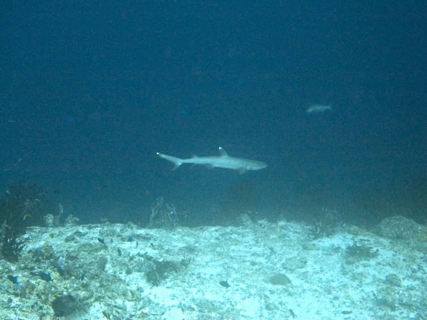 warten auf Haie, Süd Ari Atoll - Orimas Faru,Malediven